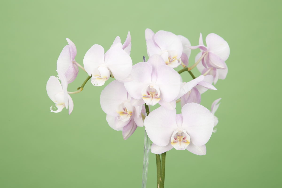 der orchideenpflege knigge scheurich blog. Black Bedroom Furniture Sets. Home Design Ideas
