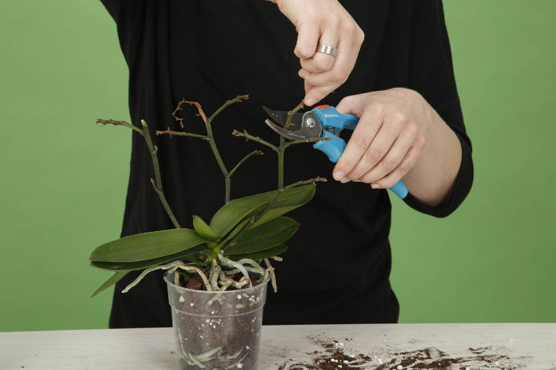 orchid knigge trimming