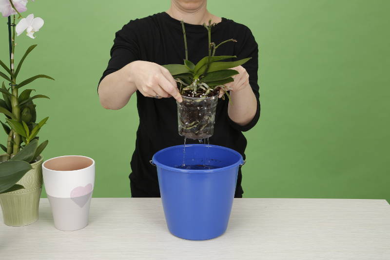 orchid knigge watering