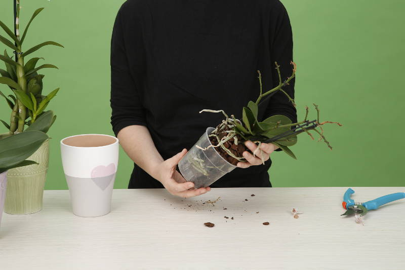 Orchideenpflege Umtopfen