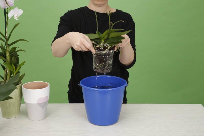 Orchideenpflege Bewaesserung
