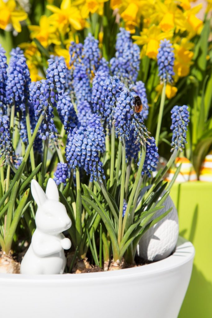 grape-hyacinth-in-No1Style-with-bee